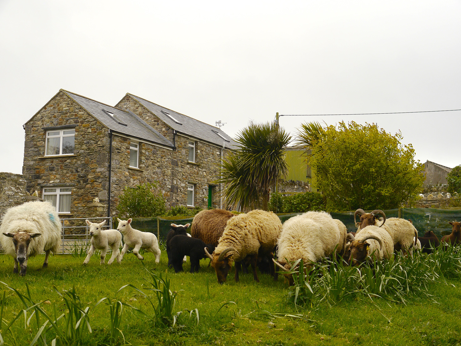 Spring Lambs leaping outside The Stable