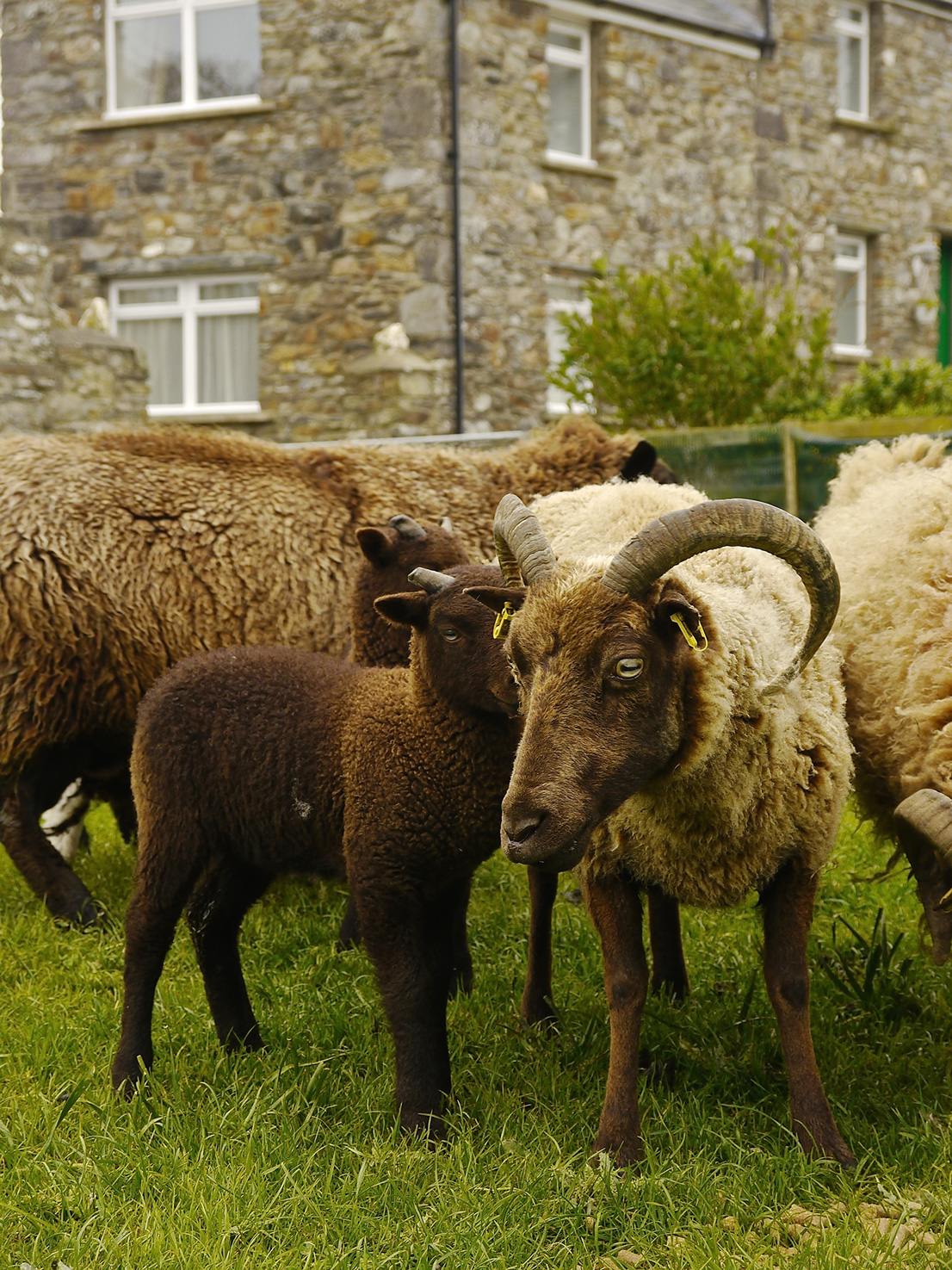 Manx Loaghtans outside The Stable Self Catering