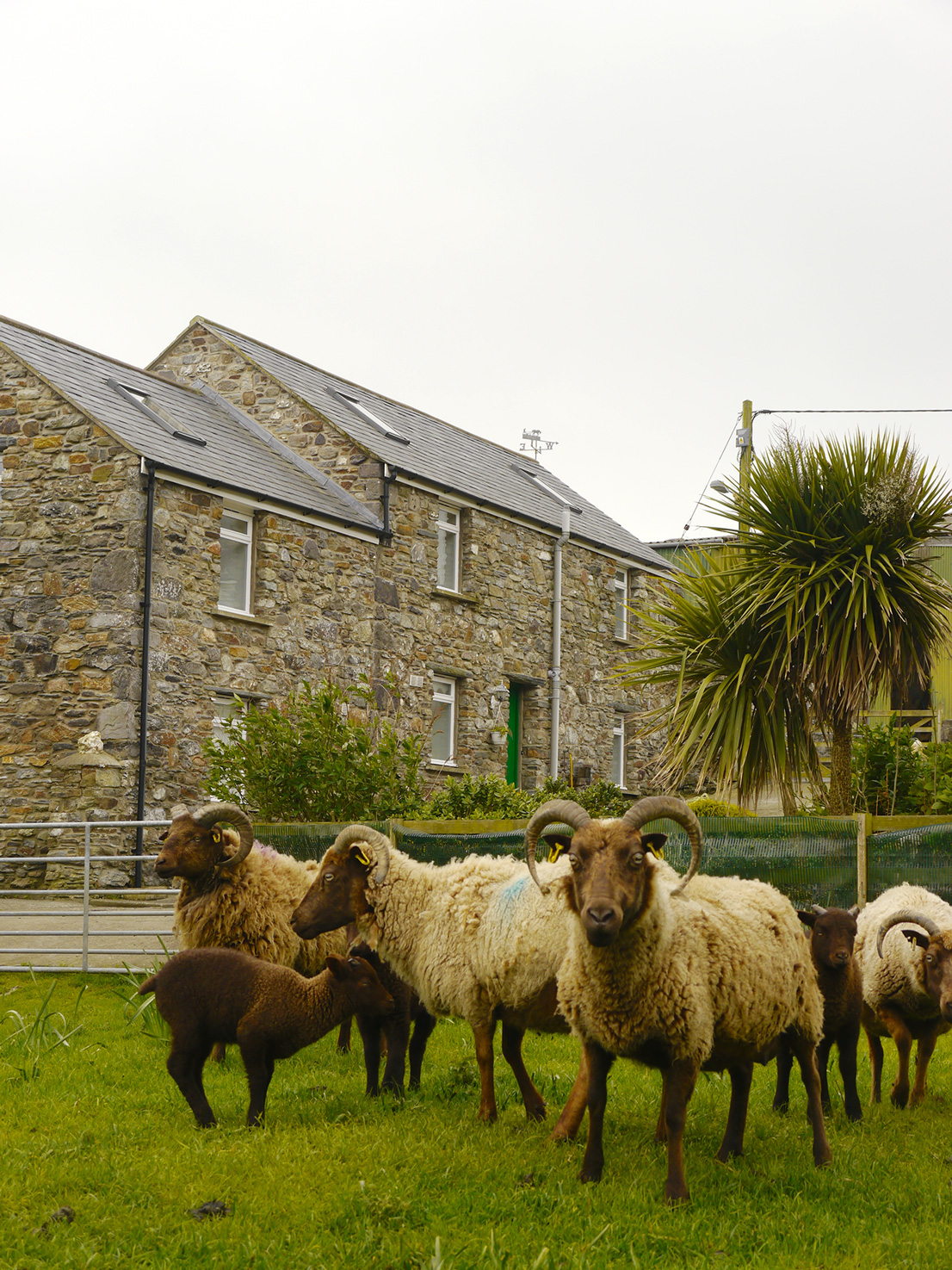 Manx Loaghtan outside The Stable